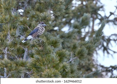 Close up  Spotted nutcracker, Nucifraga caryocatactes, dark chocolate brown, heavily white spotted euroasian, high altitude bird. Wildlife of Dolomites, Pale di San Martino mountains, Italy.