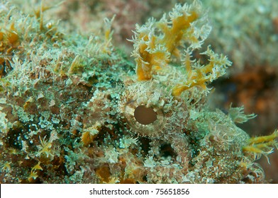 Close up of a Spotted Scorpionfish, picture taken in south east Florida.