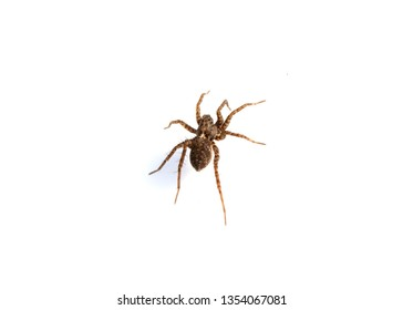Close Up of a  Spotted Wolf Spider on White Background