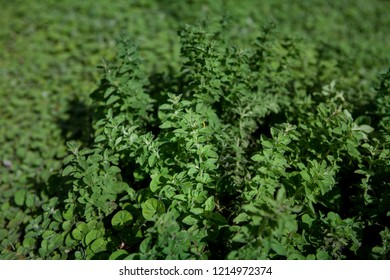 Close up of sprigs of green herb oregano growing up out of a garden of green liverwort ground cover creating a textured green image ideal for backgrounds.