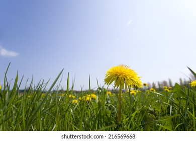 Close up of spring dandelion in field