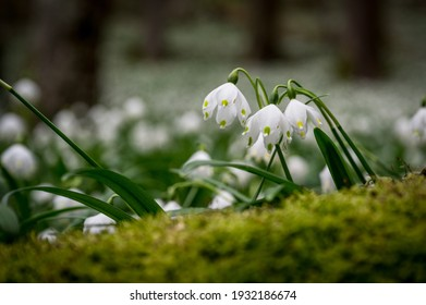 close up of a spring snowflake (german Märzenbecher, lat. Leucojum vernum) in Switzerland