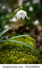 close up of a spring snowflake (german Märzenbecher, lat. Leucojum vernum) in Switzerland - Shutterstock ID 1932189044