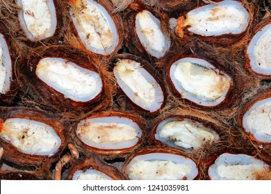 close up of sprouted Borassus flabellifer(known as doub or palmyra palm, tala or toddy palm, wine palm, ice apple) sedds cut in half with its Cotyledon with sorrounding seed (endocarp).A healthy food.