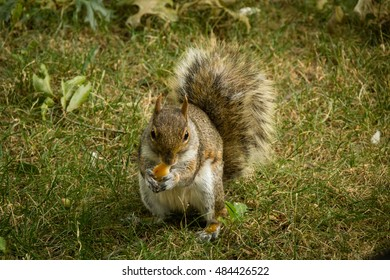 Close up of squirrel sitting in the grass eating a small piece of bread
