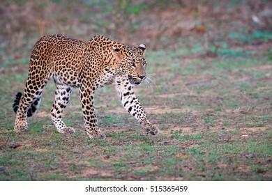 Close up Sri Lankan leopard, Panthera pardus kotiya, big cat native to Sri Lanka. Walking leopard from side view.  Wildlife photography, Yala, Sri Lanka.