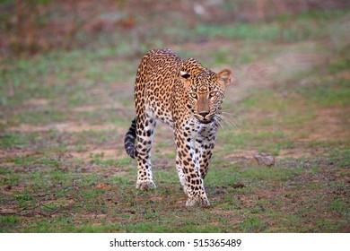 Close up Sri Lankan leopard, Panthera pardus kotiya, big cat native to Sri Lanka. Walking leopard from direct view.  Wildlife photography, Yala, Sri Lanka.