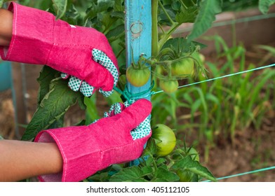 Close up staking of green tomatoes by farmer
