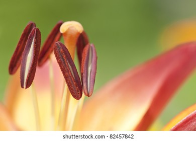 Close up of stamens of a red lily