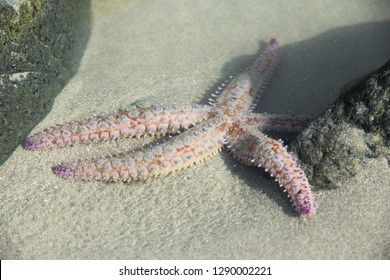 close up of starfish of the atlantic ocean in the northern hemisphere