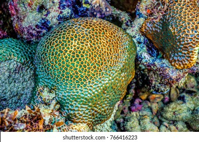 Close up of Stony Coral, showing corallites, visible in knee deep water, low tide Great Barrier Reef, Australia.This reef building hard coral is on a coral bommie, a fringing reef on the shoreline.