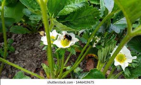 Close up of strawberry flowers blossoming with a bumble bee