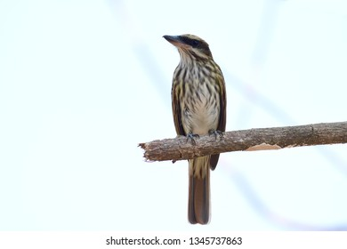 Close up of a Streaked Flycatcher (Myiodynastes maculatus) perched on a tree branch