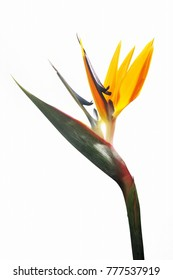 Close up of strelitzia flower