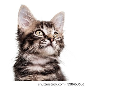 Close up studio photo of a two months old furry striped kitten, isolated on white.