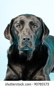 Close up studio portrait of black labrador isolated on light blue background
