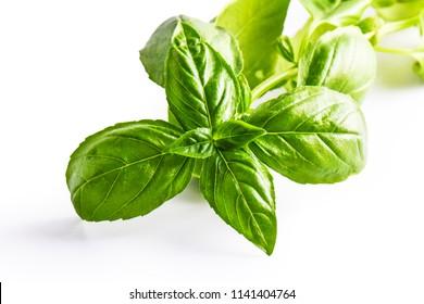 Close up studio shot of fresh green basil herb leaves on white background. Sweet Genovese basil