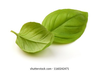 Close up studio shot of fresh green basil herb leaves isolated on white background