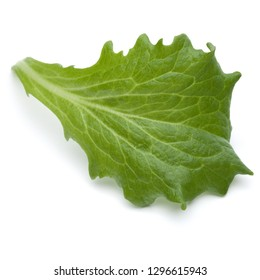 Close up studio shot of fresh green endive salad leaf isolated on white background.