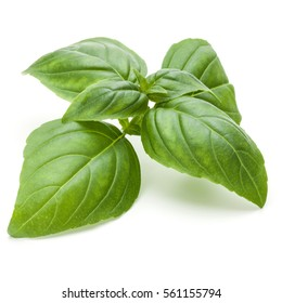 Close up studio shot of fresh green basil herb leaves isolated on white background. Sweet Genovese basil