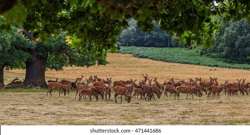 Close study of Deer in the great Royal park Richmond London England