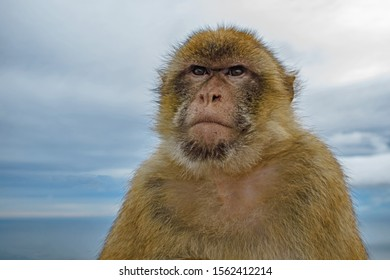 A close up study of a serious looking Barbary Ape