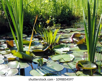 close up of submerged aquatic plant stratiotes aloides, commonly known as water soldier or water pineapple. Poland, Europe