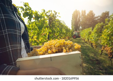 Close up of successful female farmer or winemaker is walking in the middle of vine branches and carrying picked grapes during wine harvest season in vineyard for further high quality wine production
