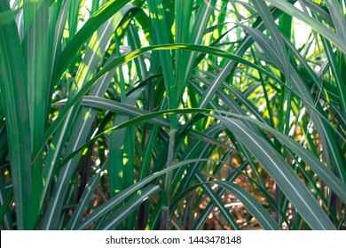 Close up of sugar cane leaves at sunrise
