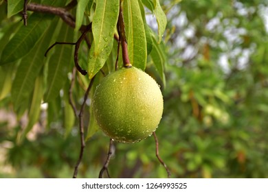 Close up of Suicide fruit on tree
