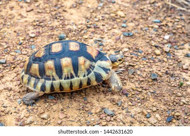Close up sulcata tortoise,spurred tortoise resting in the garden,Spurred tortoise on ground with his protective shell.