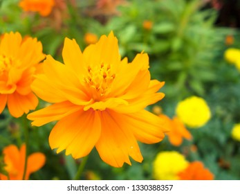Close up of Sulfur Cosmos or Mexican Aster ( Cosmos sulphureus or Cosmos bipinnatus Cav. ) Beautiful flower from natural bouquet and green leaves in the garden.