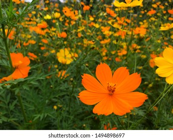 Cosmo Flower Images, Stock Photos & Vectors | Shutterstock