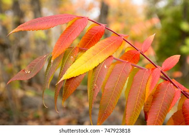 A close up of Sumac leaves during fall.