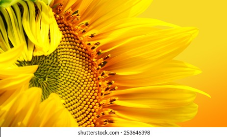 close up sun flower