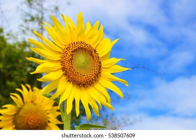 close up of sun flower with blue sky