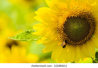 Close up Sunflower and the Bee