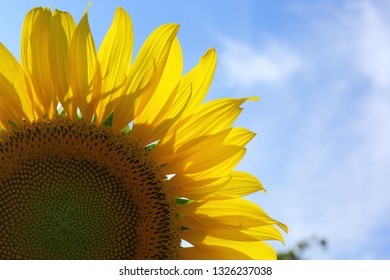 close up sunflower blooming in garden, flower blossom in the morning day