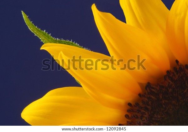 Close up of a sunflower with blue background