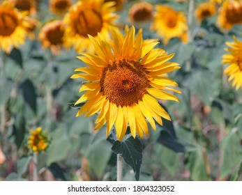Close up of a sunflower in the cultivated field as spring concept