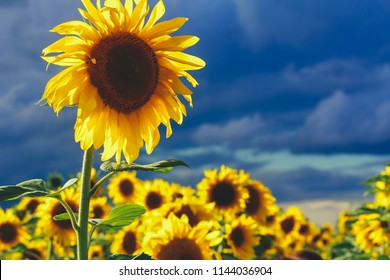 Close up of sunflower in field against grey evening sky. Farming concept. Agriculture, harvest season, organic food, august