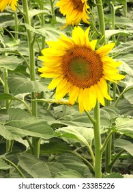 Close up to a sunflower on a field
