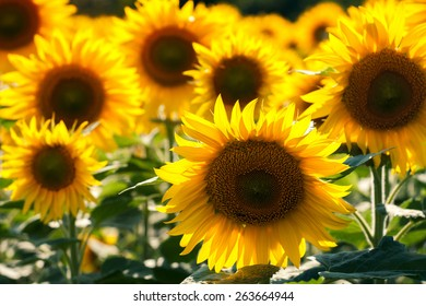 Close up of sunflower on field in Hungary