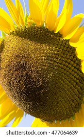 Close up of sunflower on sunny day.