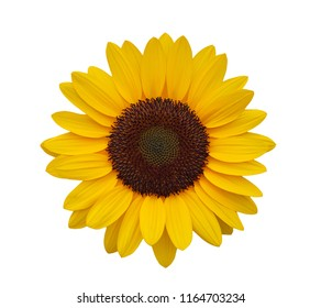 Close up sunflower on white background