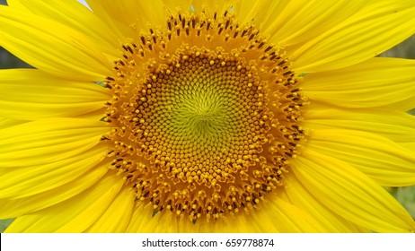 close up of sunflower pollen