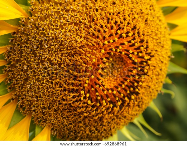 Close up of sunflower. selective focus.