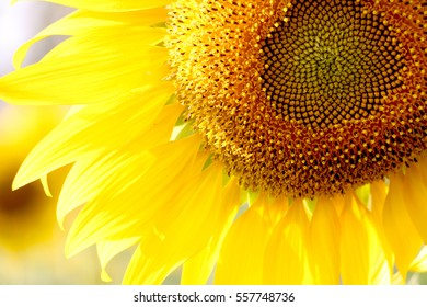 Close up of sunflower, selective focus on blurred background