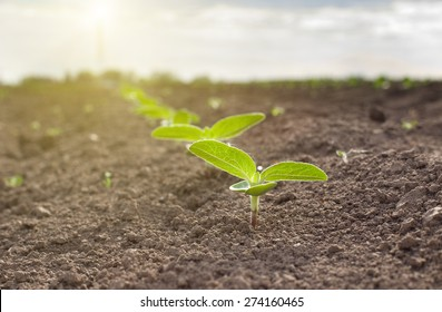 Close up of sunflower sprouts growing from dry soil