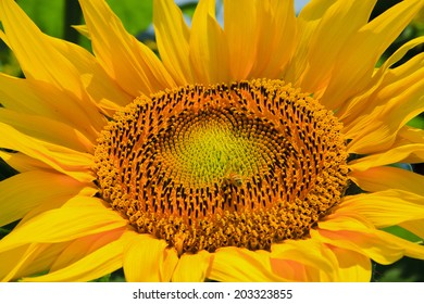 Close up  sunflowers